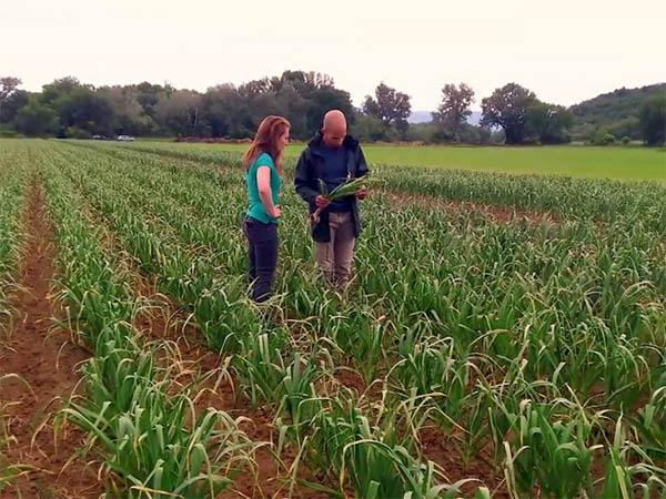 Photo de deux inspecteurs dans un champ d'ail