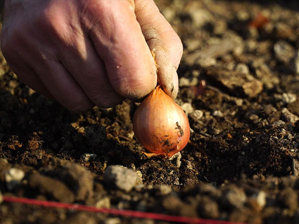 Photography of shallot planting