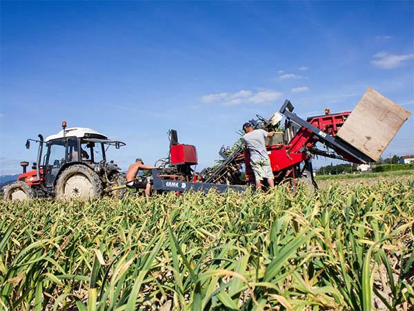 Photo d'une récolte d'ail en tracteur
