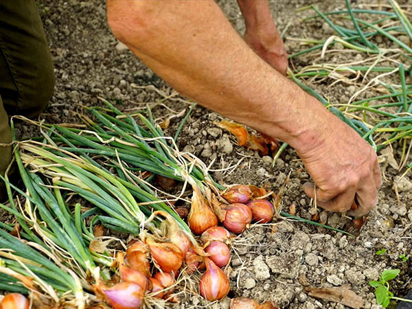 Photography of shallot harvest with hand